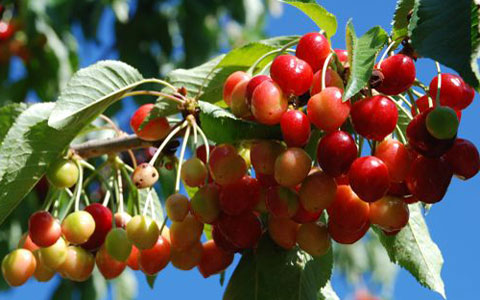 Cherry Picking Season 2011: Klondyke Farm